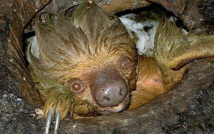 Phát hiện con lười trốn dưới hố xí xây trong rừng Amazon, những gì xảy ra sau đó khiến bất kỳ ai cũng...