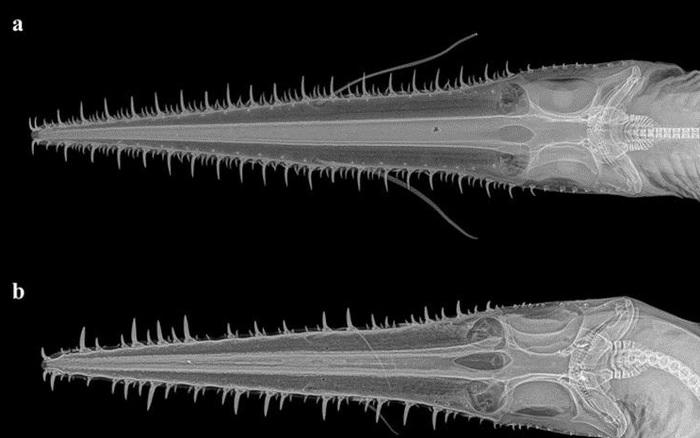Phát hiện 2 loài cá mập mới, hiếm tới nỗi chưa từng có bất kỳ nghiên cứu nào về chúng