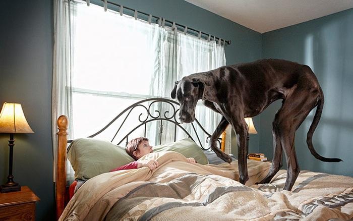 Gặp gỡ những chú chó khổng lồ trên thế giới
