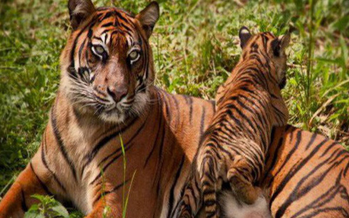 1001 thắc mắc: Hổ 'yêu đương' thế nào, vì sao hổ dữ không ăn thịt con?