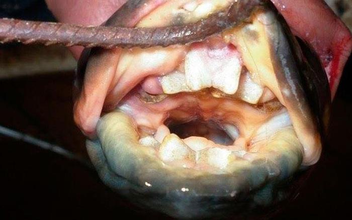 Kỳ lạ loài cá có răng người được tìm thấy ở sông Argentina  